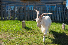 Aggressive goat. With big horns on a village street Royalty Free Stock Images