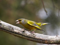 Aggressive green-finch male. Green-finch male in aggressive pose Royalty Free Stock Images