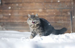 Aggressive  grey cat in the snow Royalty Free Stock Photo