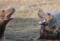 Aggressive Grey Seals Stock Photo