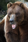 Aggressive Grizzly. Bear with his mouth open Stock Photo