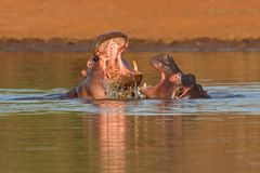Aggressive hippopotamus Royalty Free Stock Photos