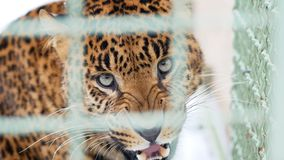 Aggressive leopard hisses through the zoo cage stock photos