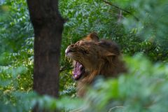 An Aggressive lion in jungle Royalty Free Stock Photos
