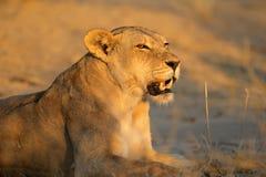 Aggressive lioness Stock Photo