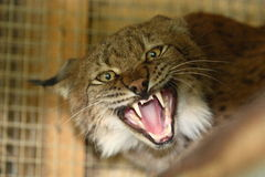 Aggressive lynx. At zoo in Grodno Stock Images