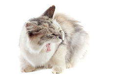 Aggressive maine coon cat Stock Image