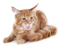 Aggressive maine coon kitten. Four month old, on a white background Royalty Free Stock Photos