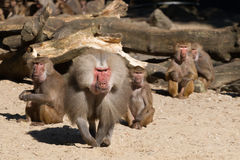 Aggressive male baboon defending group. An aggressive male baboon is defending its group royalty free stock photos