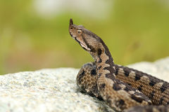 Aggressive male nose horned viper Stock Photography