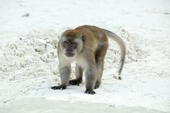 Aggressive Monkey beach. Crab-eating macaque ,  Phi-Phi, Thailand Royalty Free Stock Photos