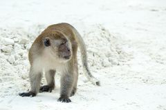 Aggressive Monkey beach. Crab-eating macaque in Phi-Phi, Thailand Stock Image