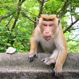 Aggressive monkey protects a piece of rice. The toque macaque or Macaca sinica is endemic monkey to Sri Lanka Stock Photo