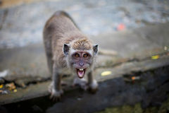 Aggressive monkey. On the rock Stock Photography