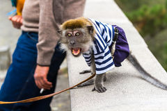 Aggressive monkey rushes to the passerby. Royalty Free Stock Photography