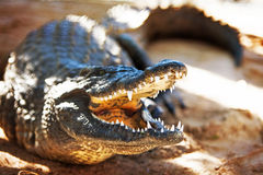 Aggressive Nile Crocodile Royalty Free Stock Images