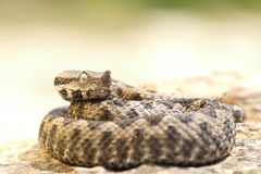 Aggressive nose horned viper ready to strike Royalty Free Stock Photos