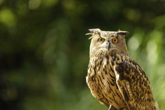 Aggressive Owl Stock Photo