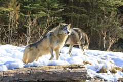 Aggressive posture of timber wolf Royalty Free Stock Photo