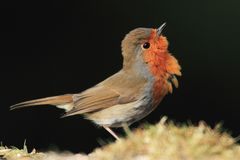 Aggressive Robin Royalty Free Stock Images