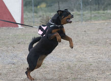 Aggressive rottweiler Stock Images