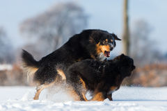 Aggressive scene of two dogs in the snow Stock Image