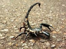 Aggressive scorpion Royalty Free Stock Image