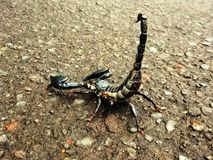 Aggressive scorpion Royalty Free Stock Images