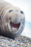 Aggressive sea elephant Stock Photo
