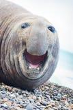 Aggressive sea elephant stock photo