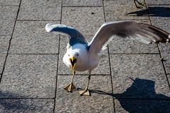 Aggressive seagull, with an open beak, on the city embankment. Summer royalty free stock photos