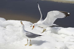 Aggressive seagulls Royalty Free Stock Photos