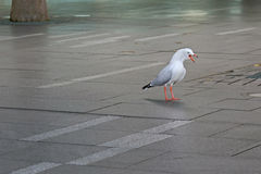 Aggressive Silver Gull seabird standing screaming on pavement in Stock Images
