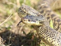 Aggressive snake attacks stock video footage