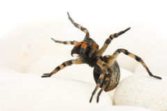 Aggressive spider with light stones Stock Images