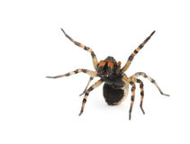 Aggressive spider with poison drops. On white background Royalty Free Stock Photography