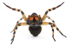 Aggressive spider with poison drops. On white background Royalty Free Stock Photo
