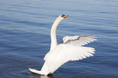 Aggressive Swan Royalty Free Stock Photos