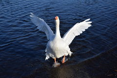 Aggressive Swan Attacking At Lake Stock Images