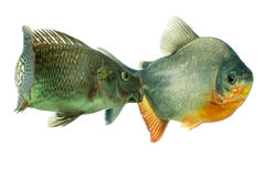 Aggressive Tilapia Fish In Aquarium Royalty Free Stock Photos