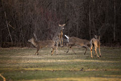 Aggressive white tail deer Royalty Free Stock Image