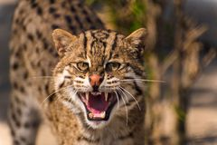 Aggressive wild fishing cat Royalty Free Stock Images