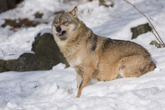Aggressive Wolf in winter Royalty Free Stock Photos