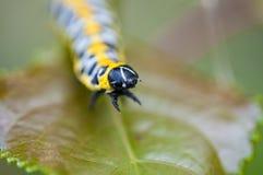 Aggressive Yellow caterpillar Stock Photo