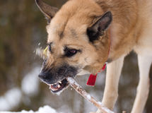 Aggressively looking dog with a stick Stock Images
