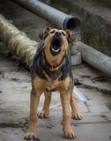 Aggressiver Abstreifenhund Stockfoto