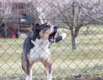 Aggressiver Abstreifenhund hinter Zaun Garten schützend Stockbild