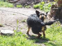 Aggressiver blinder Haushund Stockbild