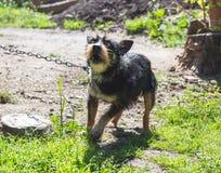 Aggressiver blinder Haushund Stockfotos
