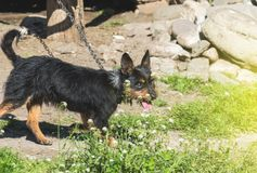Aggressiver blinder Haushund Lizenzfreie Stockfotos